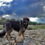 Dog on the river rocks